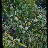 Plant-Bird Relationship: 10. Anacardiaceae, Annonaceae and Apocynaceae