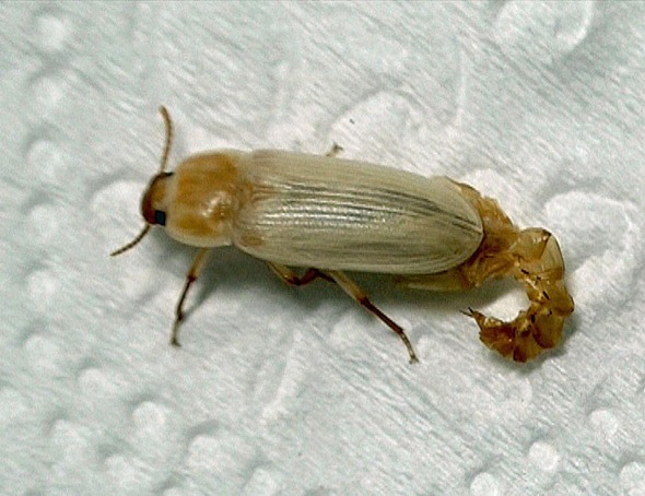 Newly emerged beetle with old pupa skin