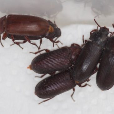 Breeding mealworms: 2. Mating