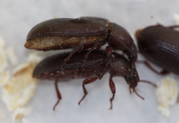 MealwormBeetle-mating