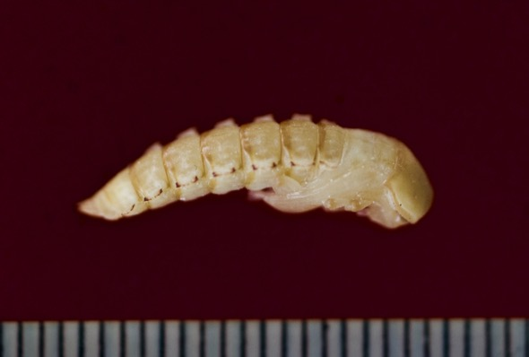 Dorsal view of pupa
