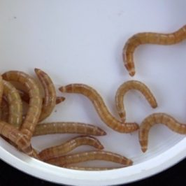 Breeding mealworms: 3. Larvae