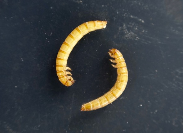 Mealworms showing legs