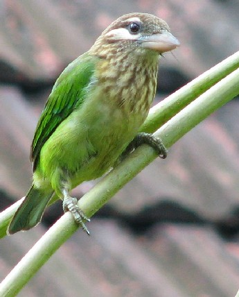 White-cheeked Barbet feasting on the Pipal figs
