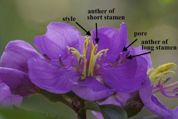 Melastoma malabathricum and buzz pollination