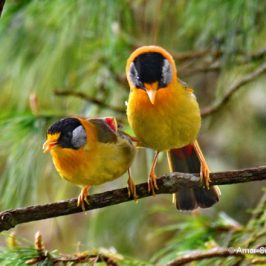 Silver-eared Mesia – social behaviour