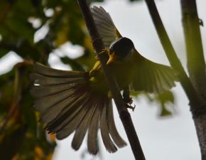 Silver-eared Mesia – animal prey