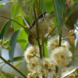 Blue-winged Minla and Long-tailed Sibia feeding on nectar
