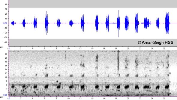 Minivet call-Ashy or Swinhoe sonogram  [AmarSingh]