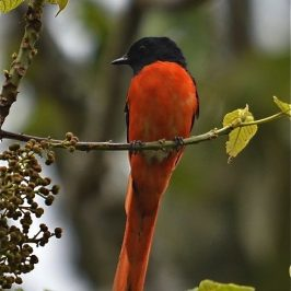 Grey-chinned Minivet at Cameron Highlands, Malaysia