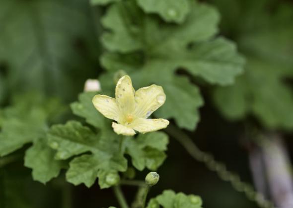 Bitter Gourd flower.