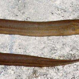 Asian Swamp Eel (<em>Monopterus albus</em>)