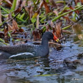 Common Moorhen foraging