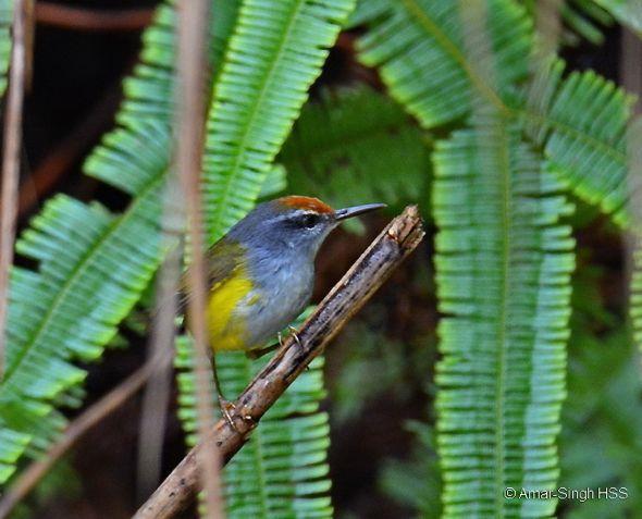 Mountain Tailorbird nesting