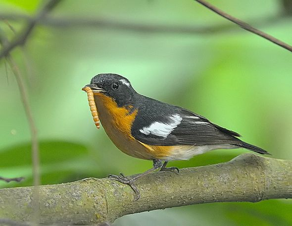 Mugimaki Flycatcher with a mealworm (Photo credit: Chan Wei Luen)