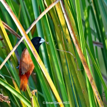 Black-headed Munia  – adult with nesting material
