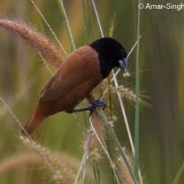 Black-headed Munia feeding on grasses