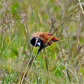 Black-headed Munia feeding on grasses