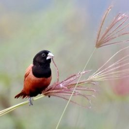 Chestnut Munia: Adult, immature and juvenile