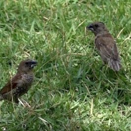Scaly-breasted Munia feeds on <em>Zoysia matrella</em> seeds