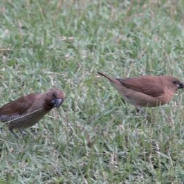 Adult and juvenile Scaly-breasted Munias feeding on Siglap Grass seeds