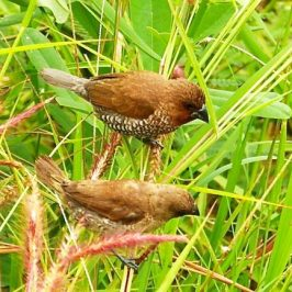 Scaly-breasted Munia eating <em>Pennisetum setaceum</em> 'Rubrum' seeds