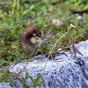 Scaly-breasted Munias feeding on seeds of <em>Tridax procumbens</em>