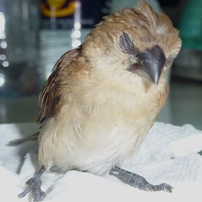 A little munia fell out of the sky