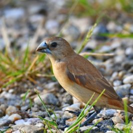 White-headed Munia – juvenile and adult moulting