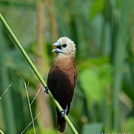 White-headed Munia's social behaviour
