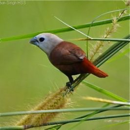 White-headed Munia feeding on grass seeds