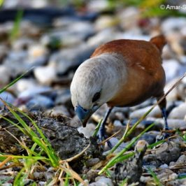 White-headed Munia feeding on 'dung'