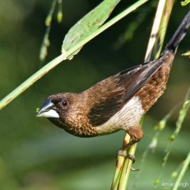 White-rumped Munia – a closer look and calls