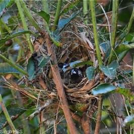 White-rumped Munia – nest construction