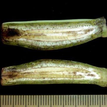 Ornamental Banana (Musa ornata): Seed and seedless fruits