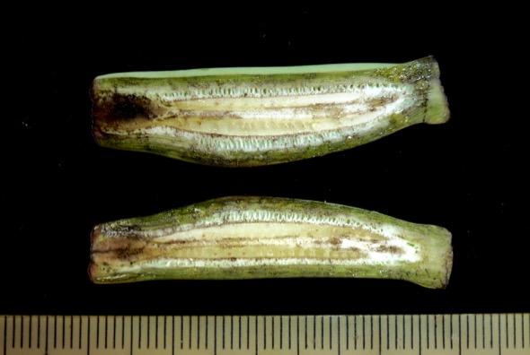 Longisection of Musa ornata fruit without pollination.