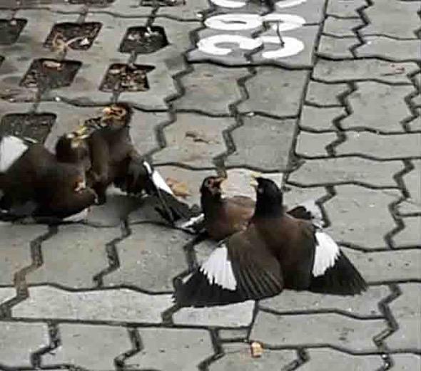 Common Mynas in an unusual 4-birds fight
