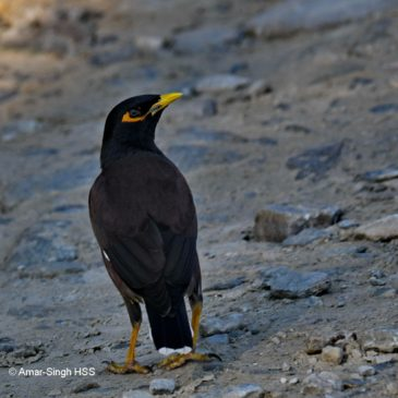 Stars in their eyes – Common Myna