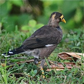 Common Myna – juvenile with head moult