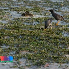 Javan Mynas foraging on seagrass meadow