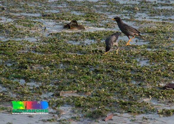 Javan Mynas foraging on seagrass meadow