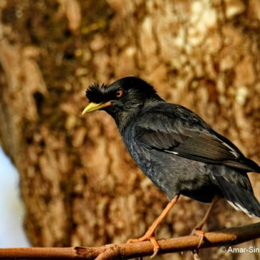 Crested or Chinese Myna