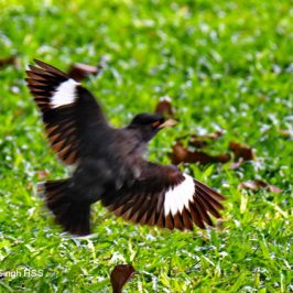 Crested or Chinese Myna: Flight and song