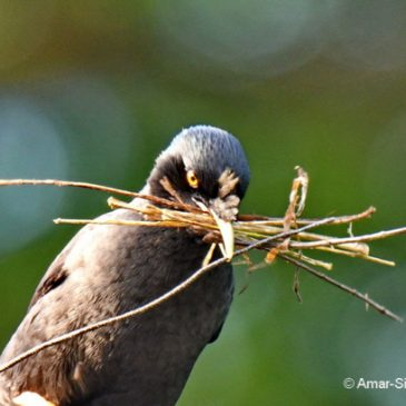 Crested or Chinese Myna: Images of the nesting pair