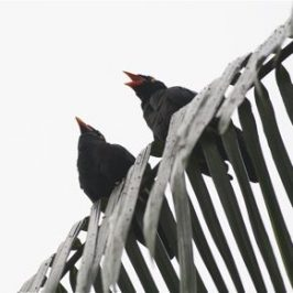 Hill Myna vocalisation