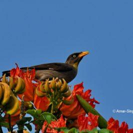 Javan Myna – nectar feeding