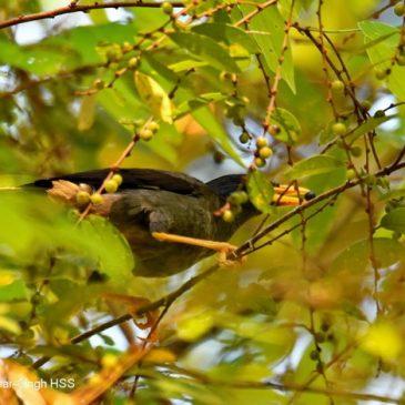 Jungle Myna – fruit feeding