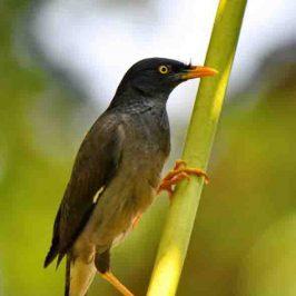 Hybrid Jungle Myna <em>Acridotheres fuscus torquatus</em> &#8211; 1. Remarks