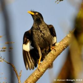 Feral populations of Javan and Common Mynas appearing in Sarawak