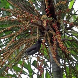 Javan Myna swallows Macarthur Palm fruits